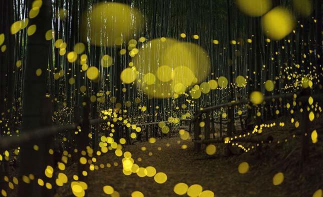 Lenyűgöző mesevilággá változtatják a japán erdőket a szentjánosbogarak