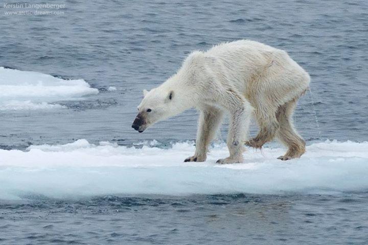 A környezetszennyezés és a kizsákmányolás eredménye: Így néznek ki a szabadon élő jegesmedvék