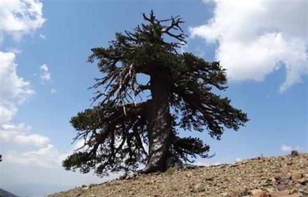 Görögországban él Európa legöregebb fája