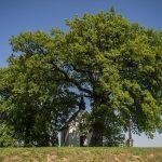 Bátaszék legöregebb fája lett az év fája Európában!