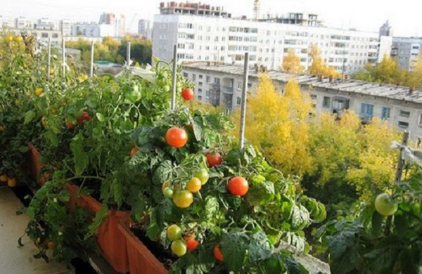 Cserépben is könnyedén nevelhetsz bőven termő, ízletes paradicsomot!