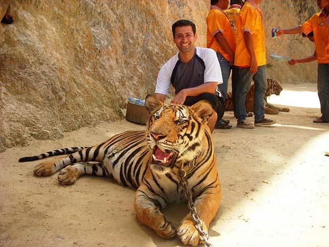 Tigristelen lesz a thaiföldi Tigristemplom
