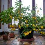"""Apró, szobába illő citromfa – házilag is """"megtermelheted"""" a C-vitamin szükségleted!"""