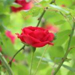 Rózsaméz, az istenek orvossága