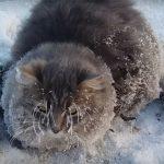 Fázol? Szibériában olyan hideg van, hogy egy macska odafagyott a talajhoz!