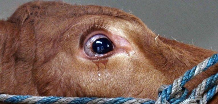 Ez a tehén annyira félt attól, mi vár rá, hogy sírni kezdett! Szerencsére boldog véget ért a történet!