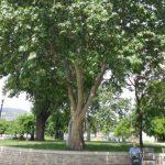 Ez a platán lett a 2016-os év fája!