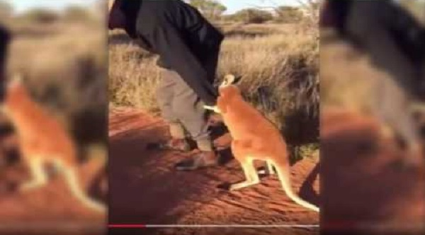 Megható, hogy ragaszkodik a bébikenguru megmentőjéhez