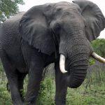 Ez az óriási elefánt a legjobb bizonyíték arra, hogy nem minden fekete vagy fehér!
